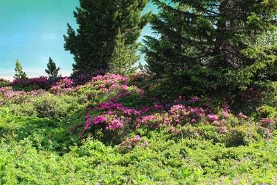 Wenn die Alpenrosen blühen