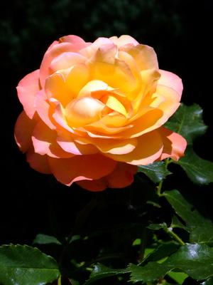 Rose gelb/orange