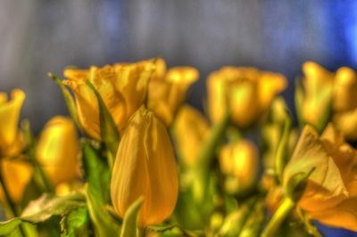 Tulpen in gelb
