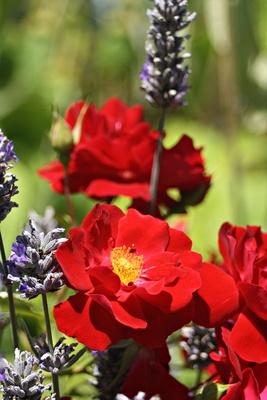 Landblume