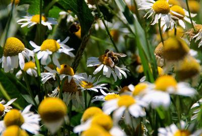Ein hübsches Bienchen auf Kamille