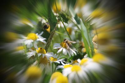 Ein hübsches Bienchen auf Kamille 02
