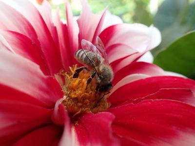 Biene auf Dahlie 3