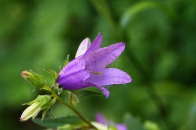 Wiesen-Glockenblume am Waldrand 02