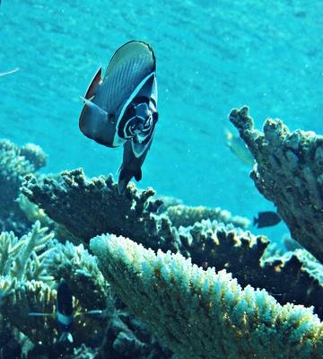 Halsband Falterfisch