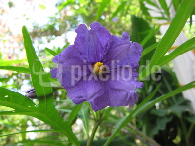 Känguruapfel (Solanum aviculare)