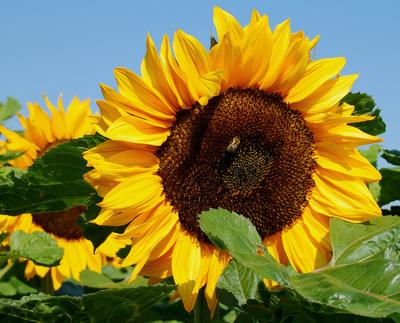 Sommer, Sonne, Sonnenblumen 02