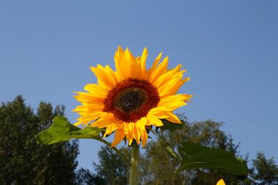 Sommer, Sonne, Sonnenblumen 03