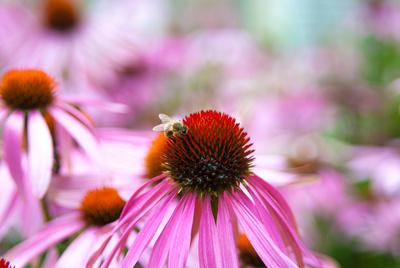 Echinacea mit Biene - Bümpliz