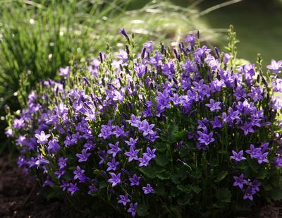 Lila Steinmauerblümchen