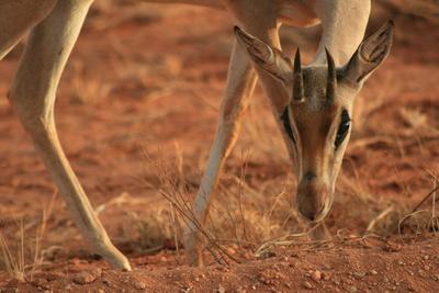 Tsavo West Kenia Safari