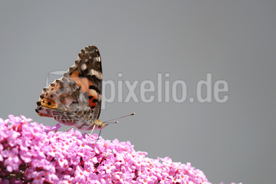 Distelfalter an Buddleja