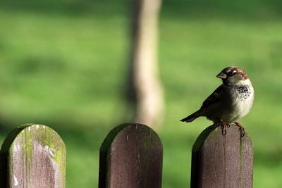 Spatz auf Zaun