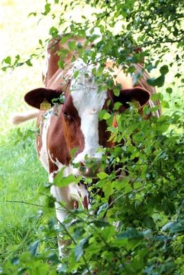 Hervorluschernde Kuh