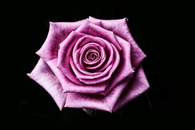 Rose auf Schwarz