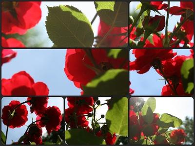 Rosebud - schlafende Schönheit