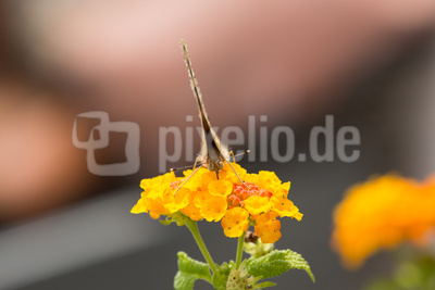 Schmetterling - Distelfalter (2)