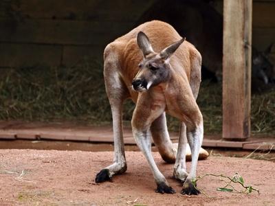 Kanguru-Männchen