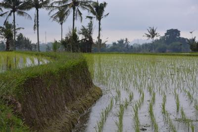 Reis- Terrassen von Ubud, Bali