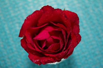 Rose am Tisch nach Regen