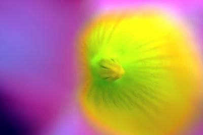 Das Innere einer Dipladenia Blüte