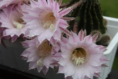 Blüte Echinopsis-Hybriden