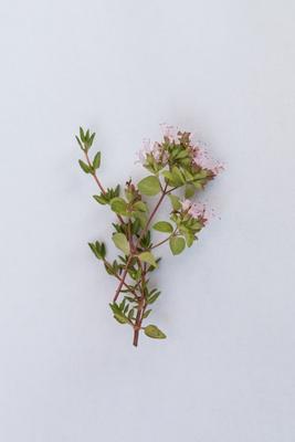 Thymian-Blüte