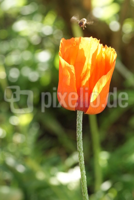 Orangefarbene Blume mit Biene