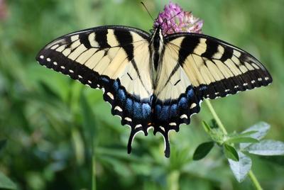 Schmetterling im Shenandoah National Park