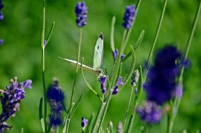 Weißling auf Lavendel 2