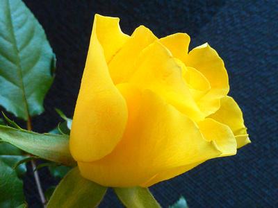 yellow rose ...