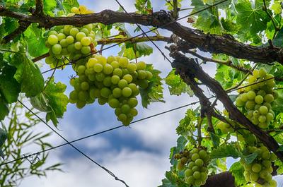 Weintrauben am Strauch