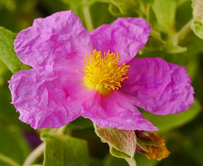 Knautschblüte - Zistrose