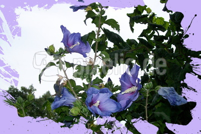 Blauer Eibisch