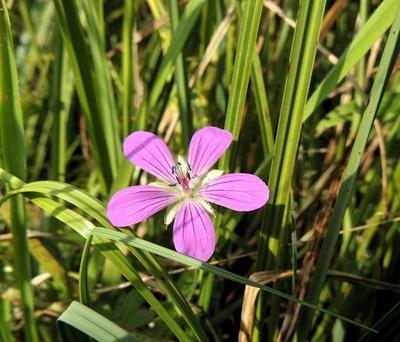Zarte Blüte mitten im Schilf