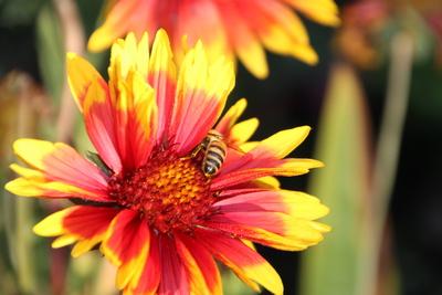 Blütenstaubsammelnde Biene
