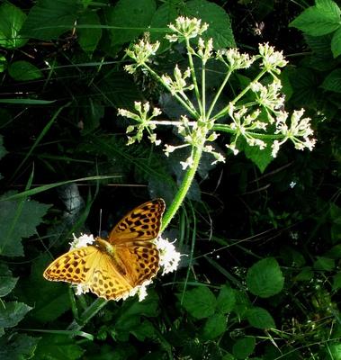 Kaisermantel und Blüte