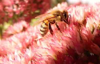 Biene auf unserem Balkon, Sept. 2014