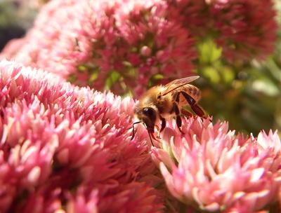 Zungenspiel einer Biene