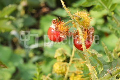 Litschi-Tomate   dunkel