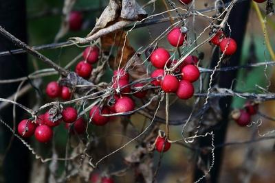 leuchtend rote Beeren