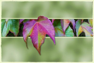 Wilder Wein im Herbstkleid