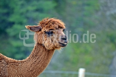 Alpaka Lama (Kamel) 3