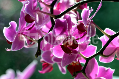 Phalaenopsis im Gegenlicht