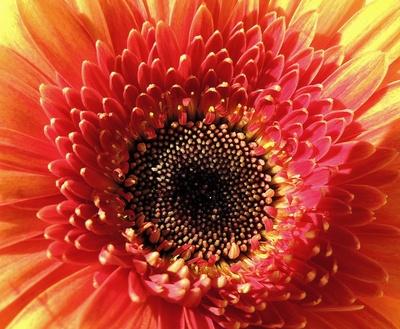 Blütenmakro (Gerbera)