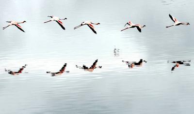Flamingos im Formationsflug