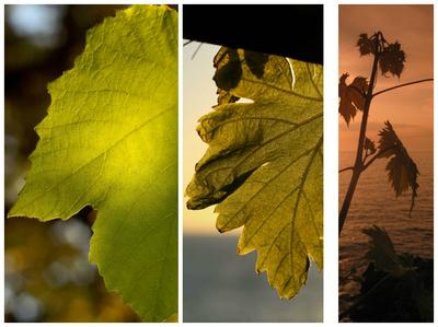 Weinblätter im Gegenlicht