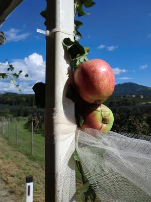 Äpfel im Apfelland/Steiermark