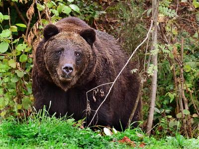 Schwarzwald-Bär