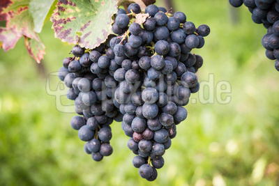 Weintrauben blau an der Rebe